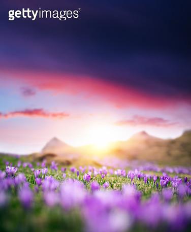 Crocus Flowers At Sunset - gettyimageskorea