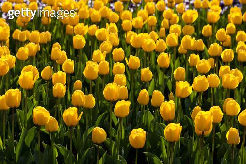 Europe, Germany, North Rhine Westphalia, View of yellow tulip flower bed - gettyimageskorea