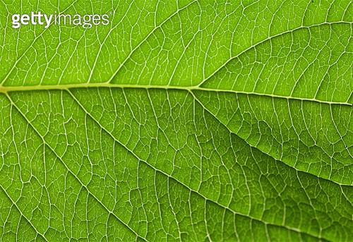 Illuminated Leaf close Up - gettyimageskorea