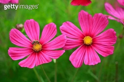 Cosmos (Cosmos bipinnatus), flowering, Germany - gettyimageskorea