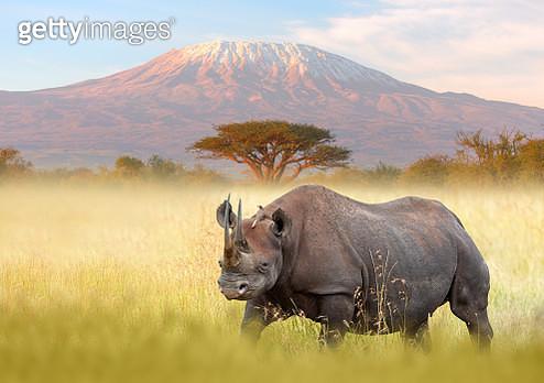 Rhino and Kilimanjaro - gettyimageskorea
