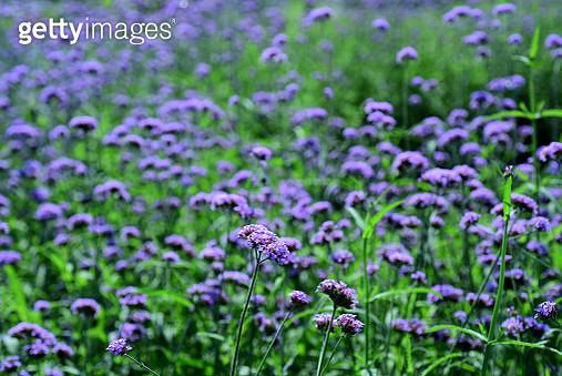 Close-Up Of Fresh Purple Flowers In Field - gettyimageskorea