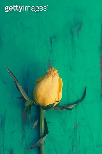 Yellow rose - gettyimageskorea