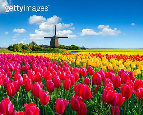 Dutch Spring Scene - gettyimageskorea