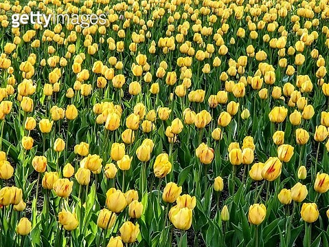 Close-up of yellow tulips on field - gettyimageskorea