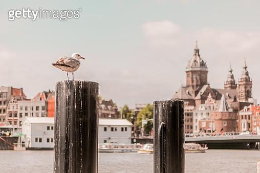seagull in Amsterdam - gettyimageskorea