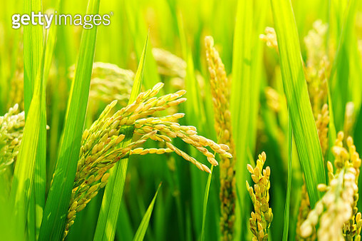 Close-up of rice in field - gettyimageskorea