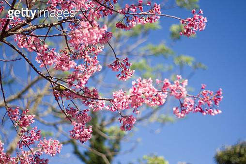Low Angle View Of Pink Cherry Blossoms - gettyimageskorea