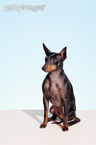 Portrait of English Toy Terrier - gettyimageskorea