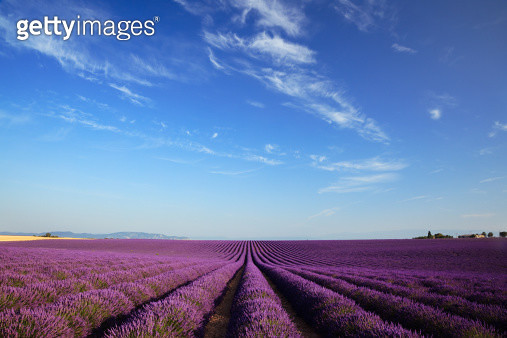 Lavender field in Valensole, Haute Provence, France. - gettyimageskorea
