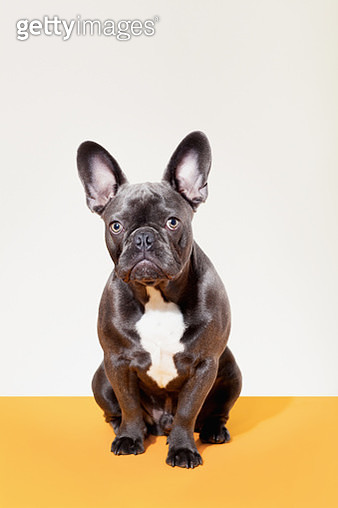 Portrait of French Bulldog - gettyimageskorea