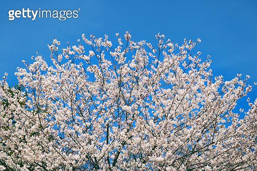 Sakura Blossoms in High Park - gettyimageskorea
