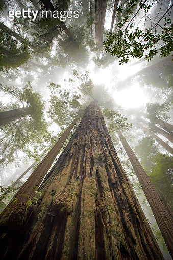 Low Angle View Of Sequoia Trees In Forest, California. USA. - gettyimageskorea