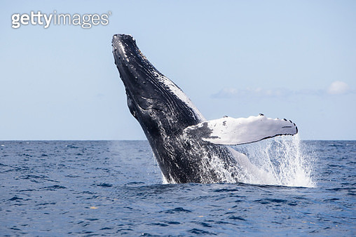 A magnificent humpback whale, Megaptera novaeangliae, breaches out of the blue waters of the Caribbean Sea. - gettyimageskorea