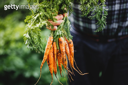 Senior man with bunch of freshly harvested carrots - gettyimageskorea