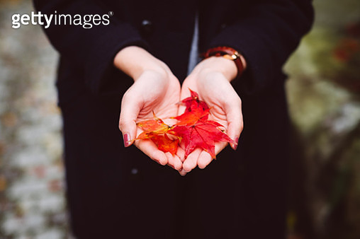 Close up of woman's hands holding red maple leaves in park during Autumn - gettyimageskorea