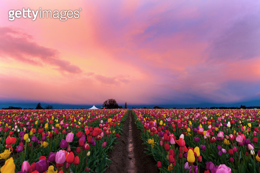 Shoe Tulip farm - gettyimageskorea