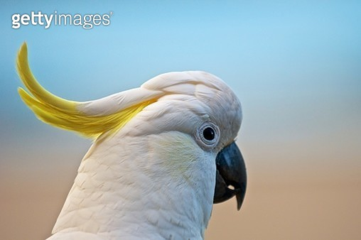 A close-up of a cockatoo. - gettyimageskorea