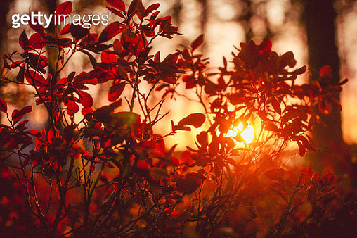 Close-Up Of Maple Leaves During Autumn - gettyimageskorea