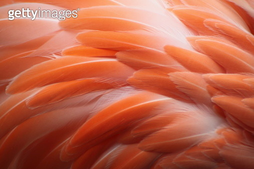 Close up of flamingo feather. - gettyimageskorea