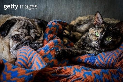 Cat And Pug Sleeping - gettyimageskorea