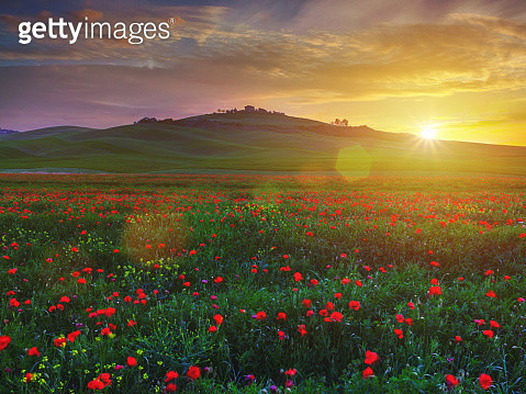 Poppy field in Tuscany at sunset - gettyimageskorea