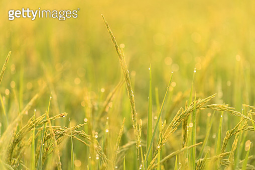 Beautiful sunrise with sugar palm trees and rice field in fresh and romantic morning - gettyimageskorea