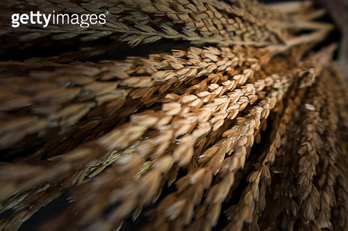 Rice plant for food material. - gettyimageskorea