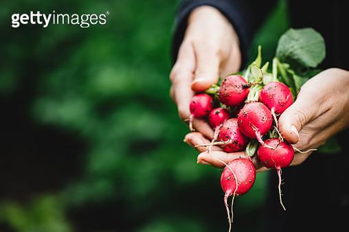 Women's hands with freshly harvested radish - gettyimageskorea