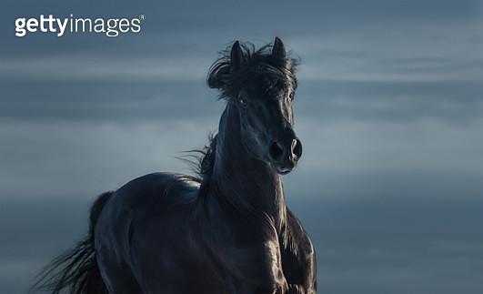 Pure Bred Spanish black stallion - portrait in motion - gettyimageskorea