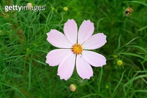 코스모스, 코스모스, 꽃, 여름, 하이앵글, 식물, 클로즈업, 한송이, 가을, 가을꽃, 분홍색, 실외, 여름꽃, 코스모스, 흰색, 자연 - gettyimageskorea