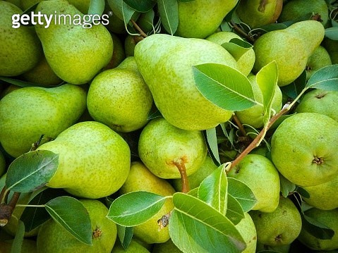 Green pears with leaves - gettyimageskorea