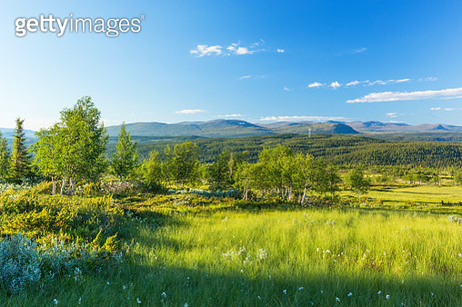 Birch Tree At A Bog In Nordic Landscape View - gettyimageskorea
