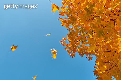 A sprig of maple with Yellow Autumn Leaves, against a blue sky. - gettyimageskorea