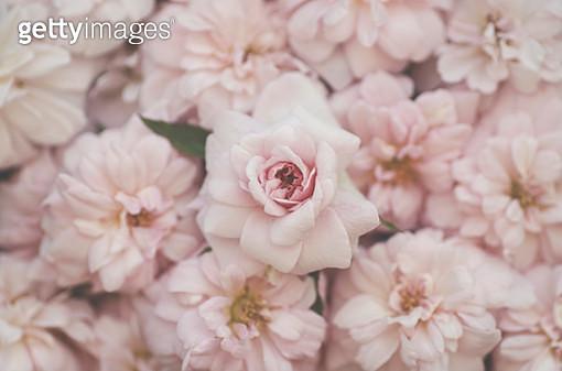 Roses - gettyimageskorea