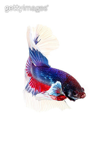 siamese fighting fish, betta isolated on white background. Betta fish, siamese fighting fish, betta splendens, Betta fish, Halfmoon Macaw Blue & Yellow, isolated on a white background - gettyimageskorea