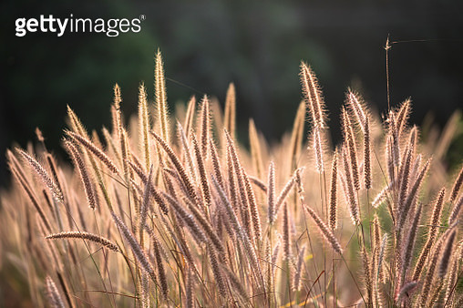 Reed flower field with sunlight in morning - gettyimageskorea