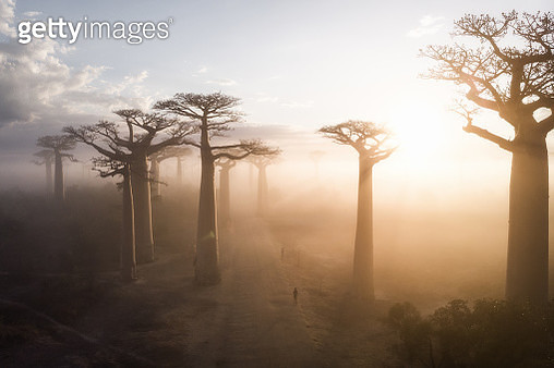 View through the misty Baobab trees at sunrise in the famous Avenue de Baobab in western Madagascar - gettyimageskorea