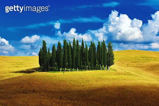 Cypress trees in Tuscany, Italy - gettyimageskorea