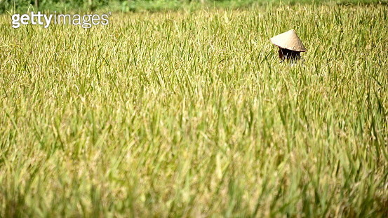 rice paddy - gettyimageskorea