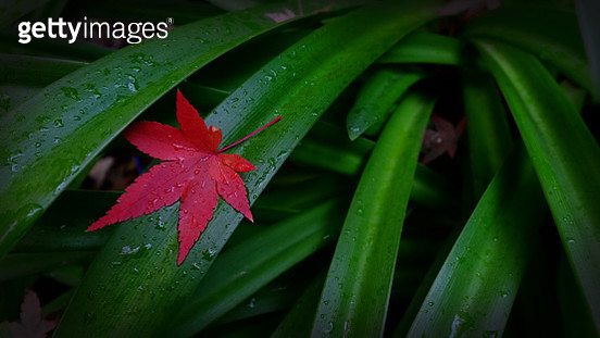 Jamieson Maple Droplets - gettyimageskorea