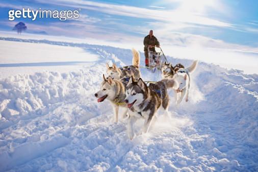 Dog sledge - gettyimageskorea