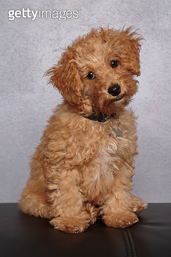 Gold coloured Cavalier King Charles Spaniel/Poodle mix puppy looking at the camera sitting in front of a gray backdrop - gettyimageskorea