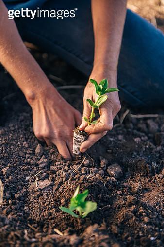 Planting seedling - gettyimageskorea