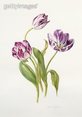 Tulips (Rembrandt Strain)/ 1992 (w/c) - gettyimageskorea