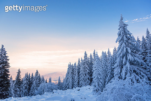 Forest Pine Trees In Winter Covered With Snow In Evening Sunligh - gettyimageskorea