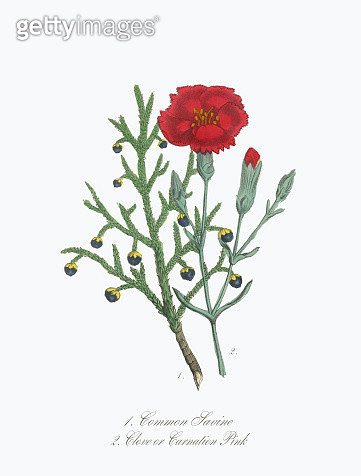 Savine and Clove or Carnation Victorian Botanical Illustration - gettyimageskorea