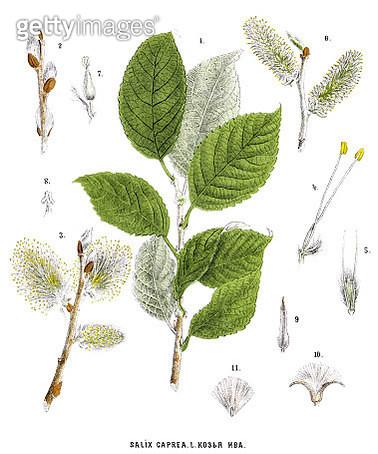 willow - gettyimageskorea