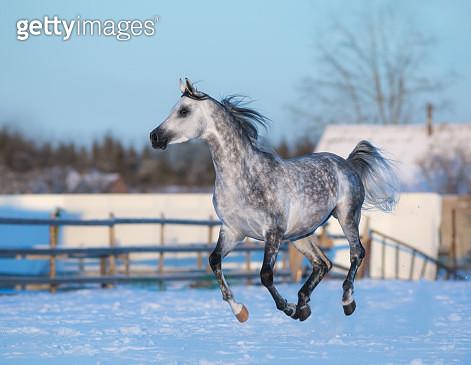 Gray elegant stallion of purebred Arabian breed - gettyimageskorea