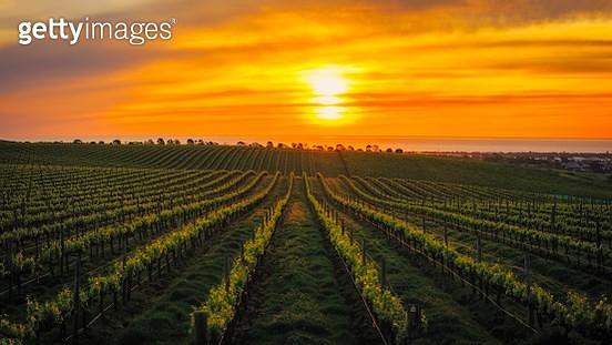 Vineyard Sunset - gettyimageskorea